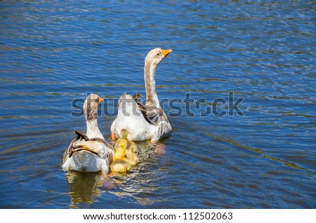 A family of ducks swimming on a lake
