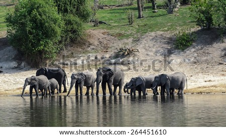 A family of Elephants drinking water in the Chobe River - stock photo