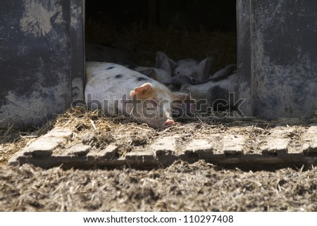 A family of free range pigs in an outdoor sty sleeping on a sunny day. They are on straw bedding - stock photo