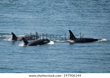 A family of killer whales travels together in Haro Strait, Washington.