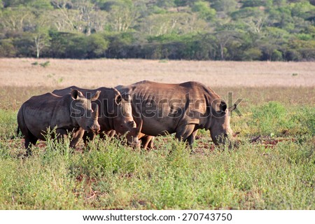 A family of large, endangered White Rhinoceros graze in a South African game reserve. - stock photo