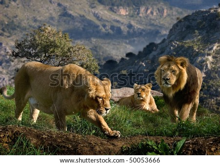 A family of Lions look for prey on the hills high above the valley. - stock photo