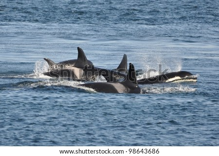 A family of orcas surfaces close together.