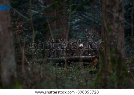 A family of roe deer are spotted among the trees after sunset. - stock photo
