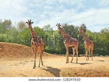 A family of three giraffes walking together in the wild. - stock photo