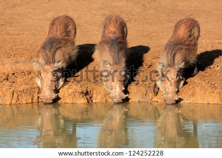 A family of warthogs (Phacochoerus africanus) drinking water, Mkuze game reserve, South Africa - stock photo