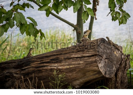 A family of water dragons sun themselves on a log near the river