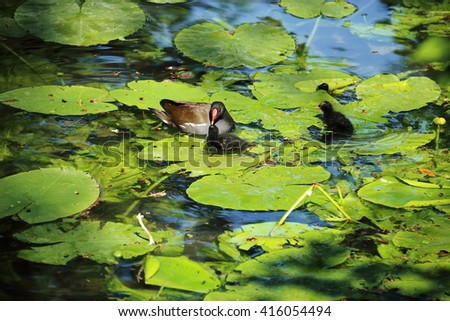 A family of waterfowl looking for food - stock photo