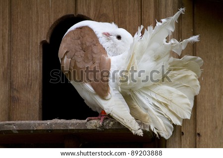 A Fantail Dove outside it's nest box. Fancy pigeon. - stock photo
