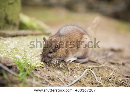 A farm rat dying after eating rat poison