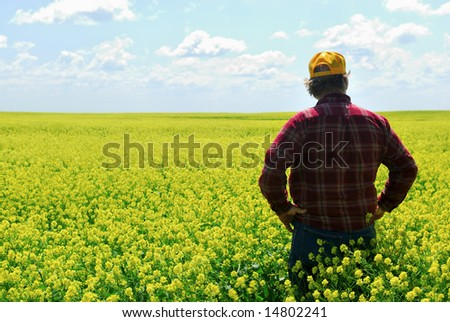 A farmer inspects canola crop.  Older generations still call canola rapeseed. - stock photo