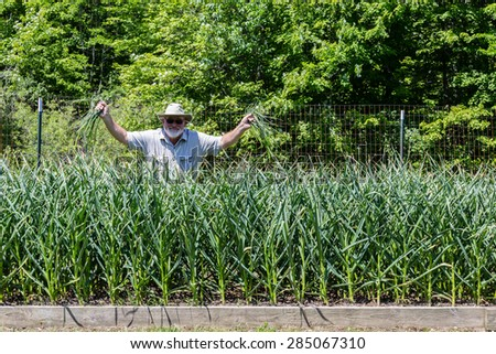A farmer standing behind a bed  of hard-neck, gourmet garlic, while displaying garlic scapes - stock photo
