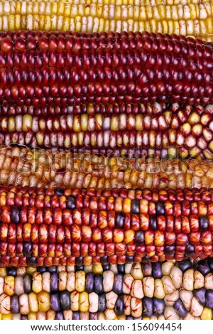 A fascinating array of fall colors is displayed in these ears of ornamental Indian corn. - stock photo