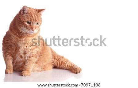A Fat Orange Tabby Cat Poses on White with a Reflection and Room for Text - stock photo
