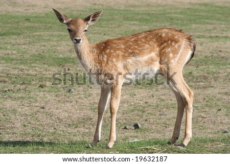 A fawn - stock photo