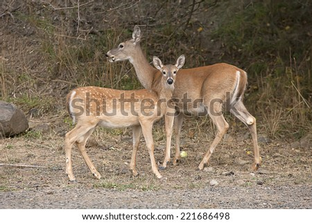 A fawn and her mother stand by the hill in Heyburn State Park in north Idaho. - stock photo