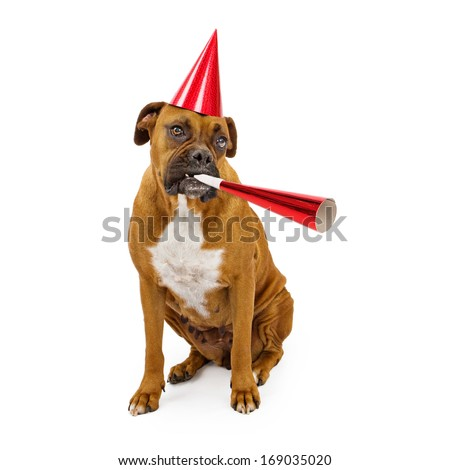 A fawn Boxer dog wearing a red hat and blowing on a party horn - stock photo