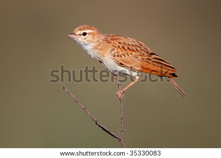 A fawn colored lark (Mirafra africanoides) perched on a twig, Kalahari, South Africa - stock photo