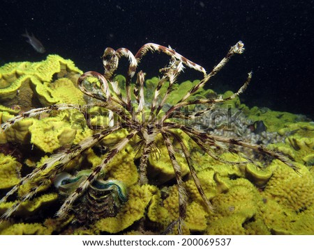 A feather star (crinoid, echinoderm) on a yellow salad coral