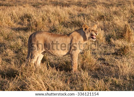 A female African lion growls in the early morning light of the Serengeti,  - stock photo