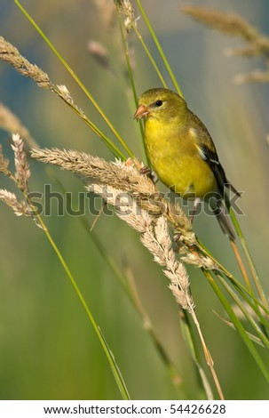 A Female American Goldfinch (Carduelis tristis) in summer plumage feeding in habitat. - stock photo