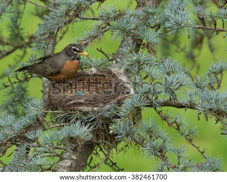 A Female American Robin in Her Nest with Her Newly Laid Eggs - stock photo