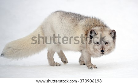 A female Arctic fox on a snow covered meadow