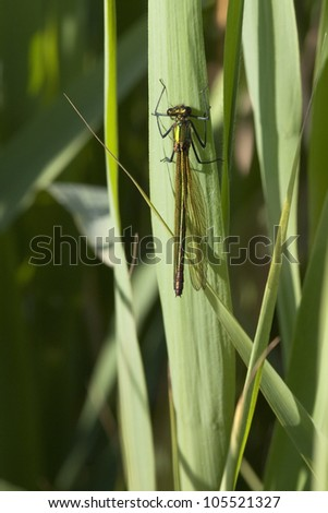 a female banded agrion also known as banded demoiselle or agrion splendens resting on a reed leaf