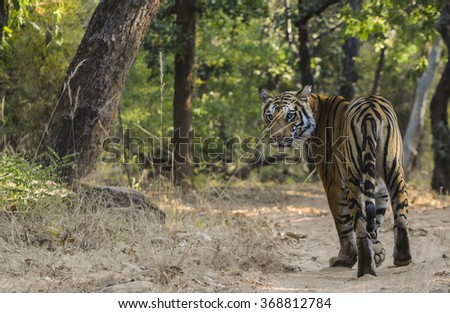 A Female Bengal Tiger looking at the camera while marking her territory.Image taken at a national park in Madhya Pradesh in India in the month of January in 2016 Scientific name- Panthera Tigris - stock photo