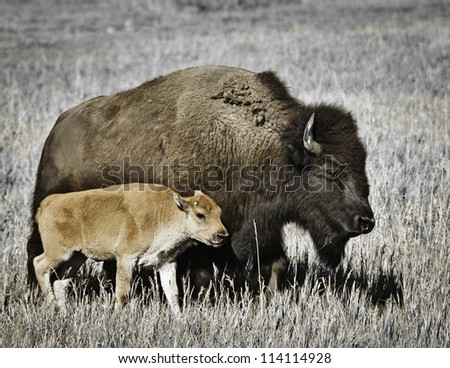 A female Bison and her calf walk through grassy fields in Idaho. - stock photo