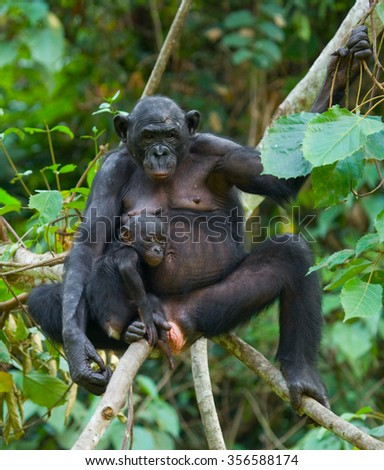 A female bonobo with a baby. Democratic Republic of Congo. Lola Ya BONOBO National Park. An excellent illustration.