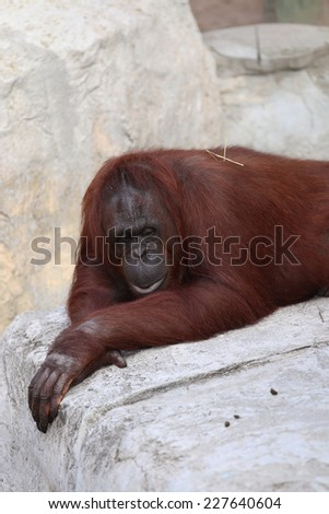 A Female Bornean Orangutan, (Pongo Pygmaeus) Contemplating the World's Problems. - stock photo