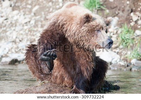 A female brown bear in an awkward position with hind leg up scratching side