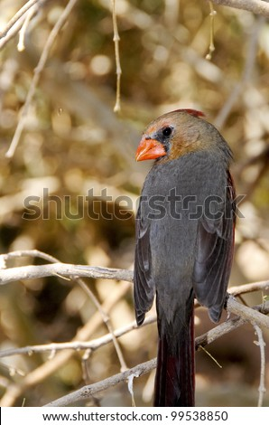 A female cardinal perched on a branch - stock photo