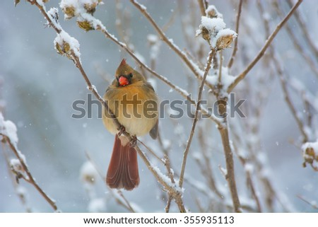 A female cardinal perched on a Rose of Sharon shrub during a winter snowfall.