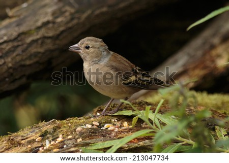 A female Chaffinch eating wild bird seed - stock photo