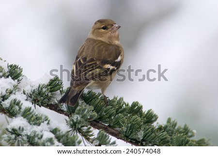 A female chaffinch on a snowy branch - stock photo