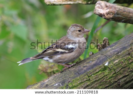 A female Chaffinch perched on a tree branch - stock photo