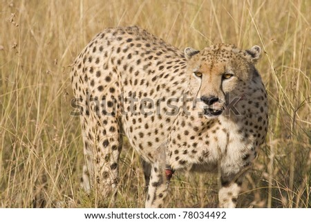 "A female cheetah after a wildebeest kill in the Masai Mara during the ""Great Migration""."