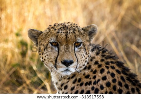 A female Cheetah roaming around the Serengeti National Park in northern Tanzania, Africa