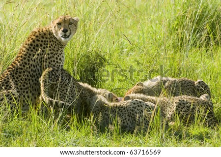 A female cheetah stands guard while her cubs feast on a kill - stock photo