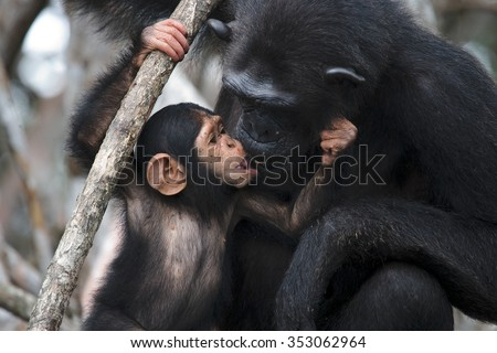 A female chimpanzee with a baby on mangrove trees. Republic of the Congo. Conkouati-Douli Reserve. An excellent illustration. - stock photo