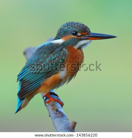 A female Common Kingfisher is perching on a branch.(Alcedo atthis) - stock photo