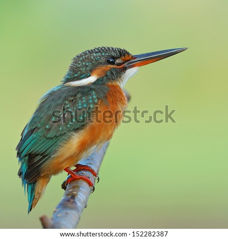 A female Common Kingfisher on green background.(Alcedo atthis)