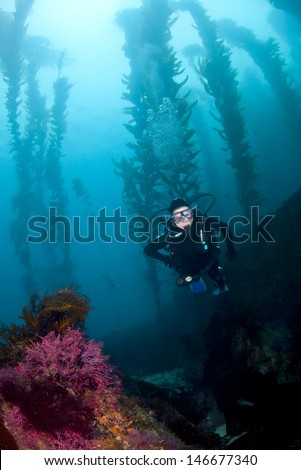 A Female diver descends in the kelp off of Santa Catalina Island in Southern California - stock photo