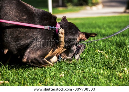 A female dog playing with its female offspring on park's lawn on a sunny day.