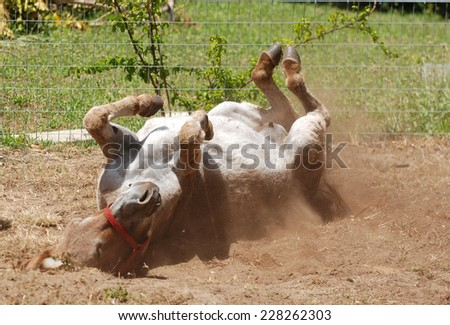 A female donkey rolling in the sand on the farm and feeling good.