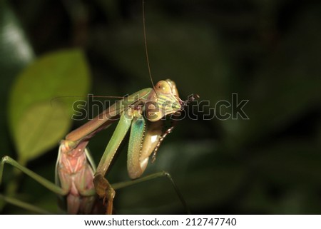 A Female European Preying Mantis, sits on a Night Blooming Jasmine bush waiting for an insect to eat. Preying Mantid's  are an important predator of harmful insects in any garden and are loved by all  - stock photo