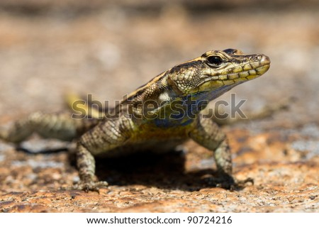 A female flat lizard photographed at eye level at Matobo Hills National Park