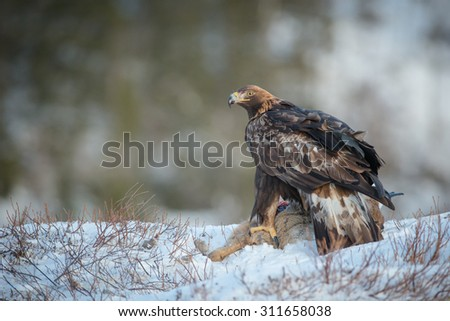 A female Golden Eagle feeding on a dead Roe Deer turns to look at the camera. - stock photo